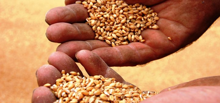 Hands cupping grains